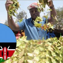 Daawo Keenya oo aan wali ka Quusan Keenista Qaadka Somalia